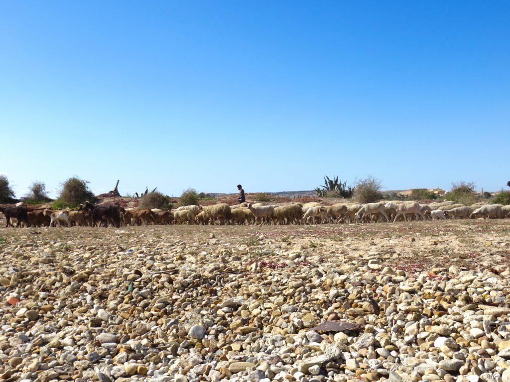 Tunisia, Nabeul, pecore, emozioni