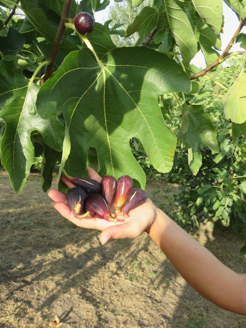 Figo moro da Caneva, tra i colli e la tradizione del Friuli