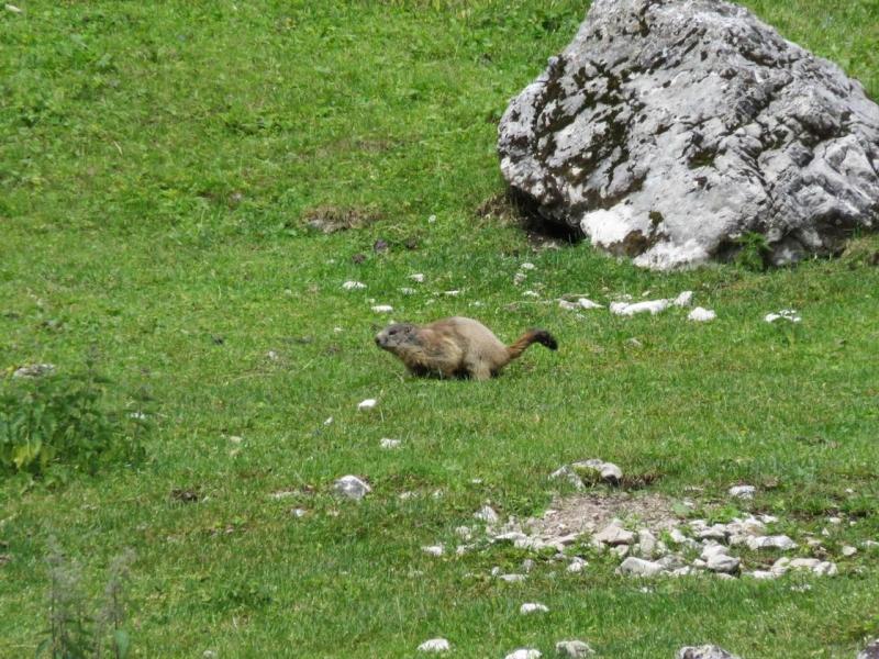 Pramaggiore, Dolomiti Friulane, Friuli, Claut, marmotta