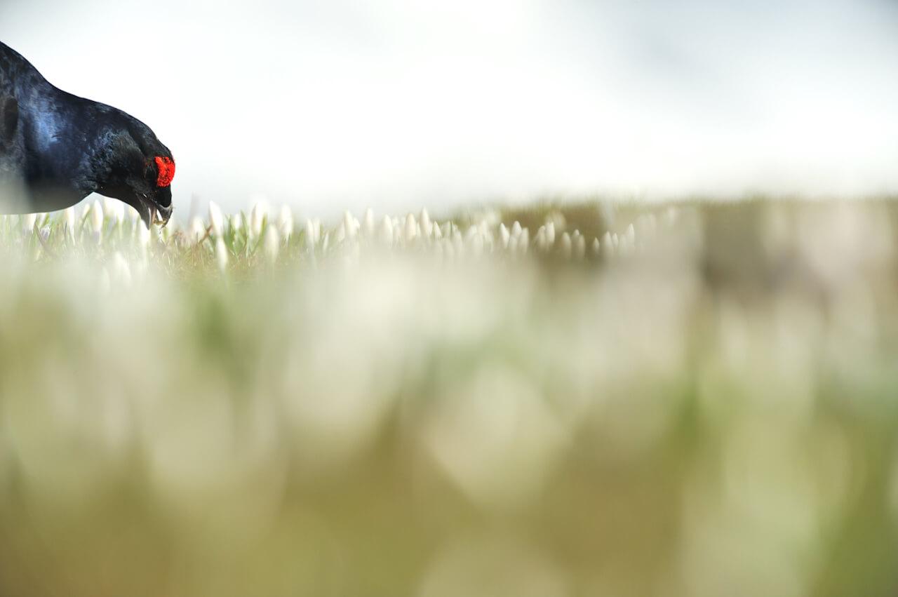 BioPhotoFestival, Mattia Dori, gallo forcello