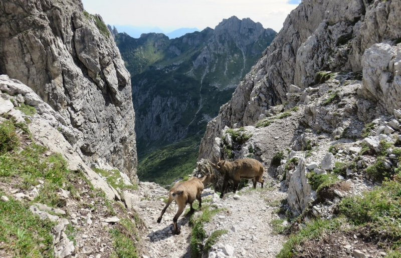 Passo del Mus, stambecchi, Dolomiti Friulane, Friuli, un anello tra le Dolomiti friulane