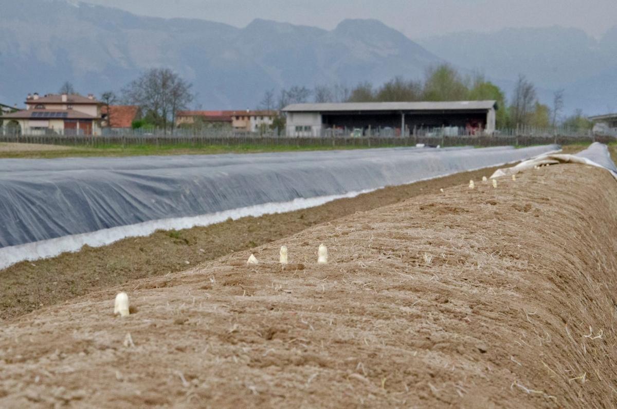 salotto dell'asparago Cordenons, terreni coltivati ad asparagi in Friuli