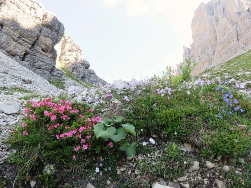 Trekking Dolomiti, fiori vicini al Campanile di Val Montanaia, nella Val Cimoliana, Dolomiti del Friuli