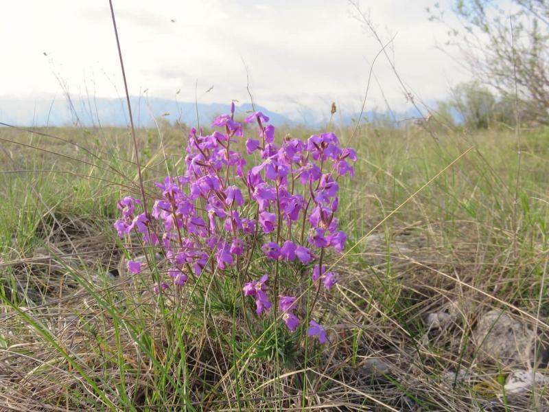 Magredi, fiore viola nella steppa del Friuli
