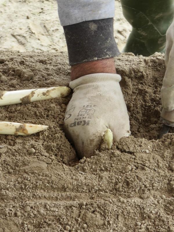 asparago di Cordenons, mano che raccoglie l'asparago, Friuli