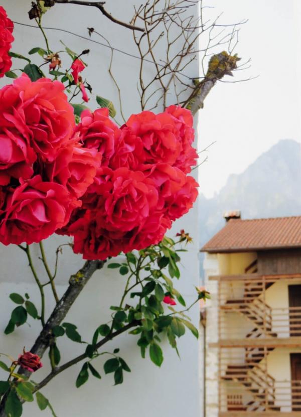 Andreis, rose rosse in primo piano, Friuli