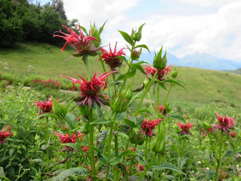 valmorel, le Zércole, agriturismo a Valmorel, fiori di Monarda