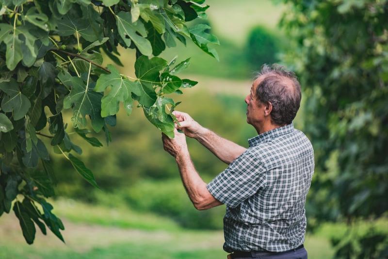 contadino che raccoglie il figo moro, nelle colline di Caneva