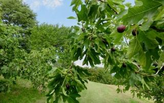 piante di figo moro nelle colline di Caneva, pedemontana del Friuli