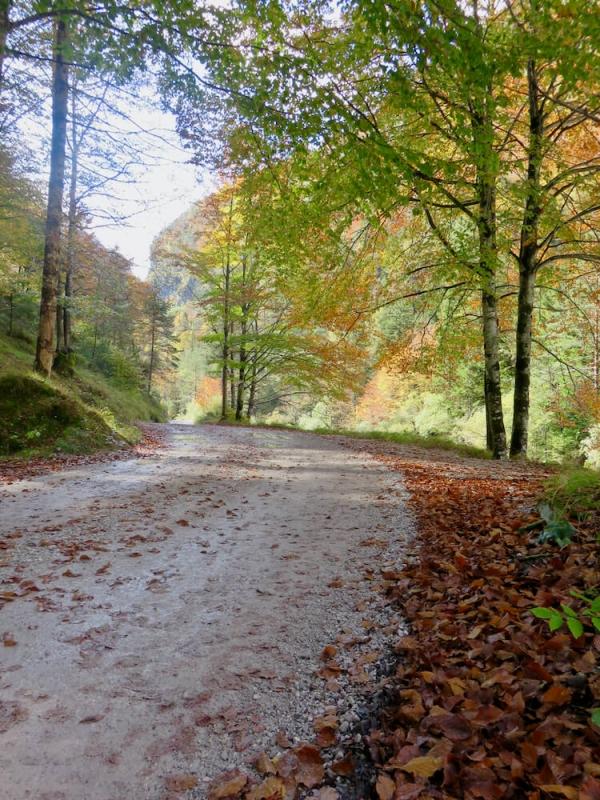 autunno tra le Dolomiti, strada nel bosco di faggi con i colori del primo autunno, Val Cimoliana