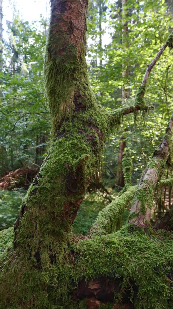 diga del Vajont, bosco vecchio