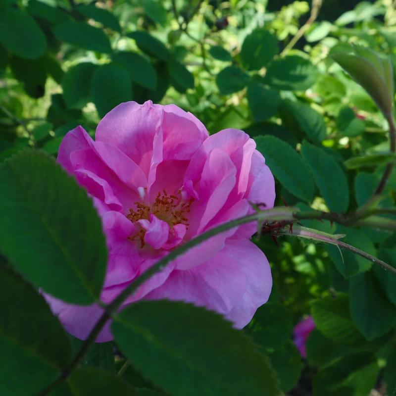 rosa damascena, labirinto di rose Cordovado