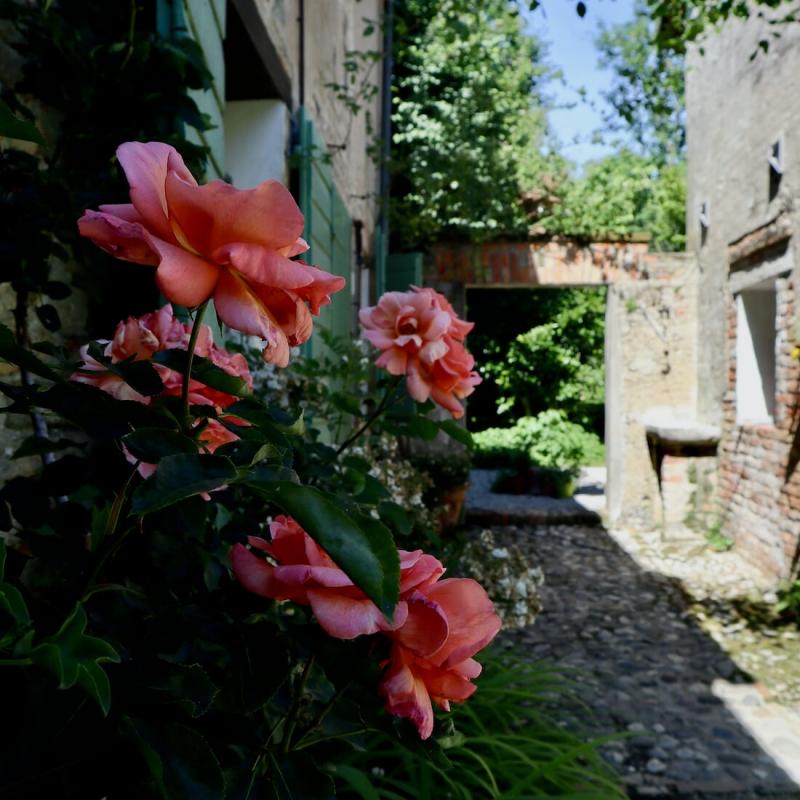 rose in fiore nelle calli del castello di Cordovado